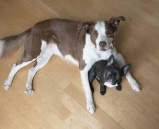 Comment habituer un chien à l'autre chien de la maison