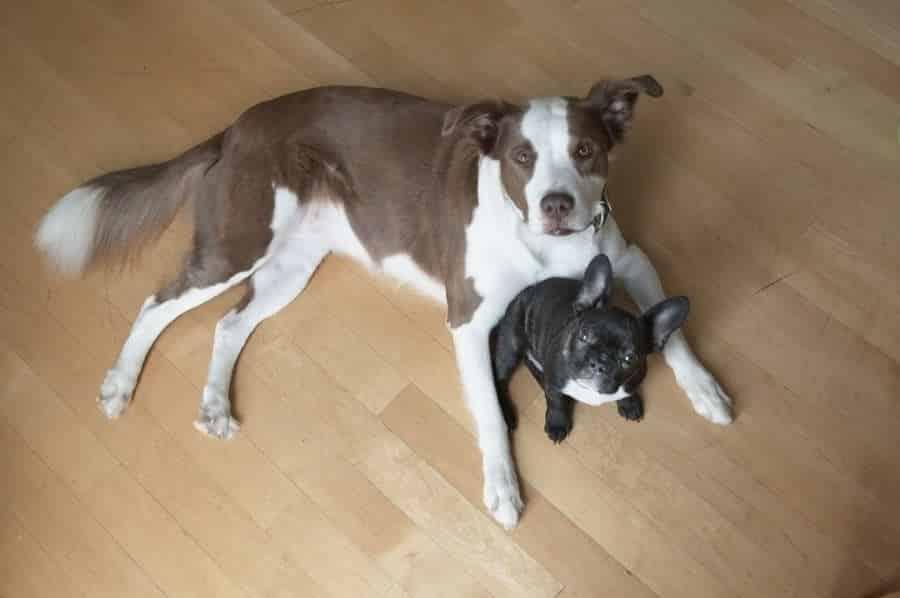 deux chiens ensemble