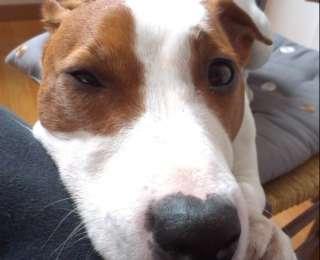 Tim, le nouveau chien Jack Russel Terrier de la maison