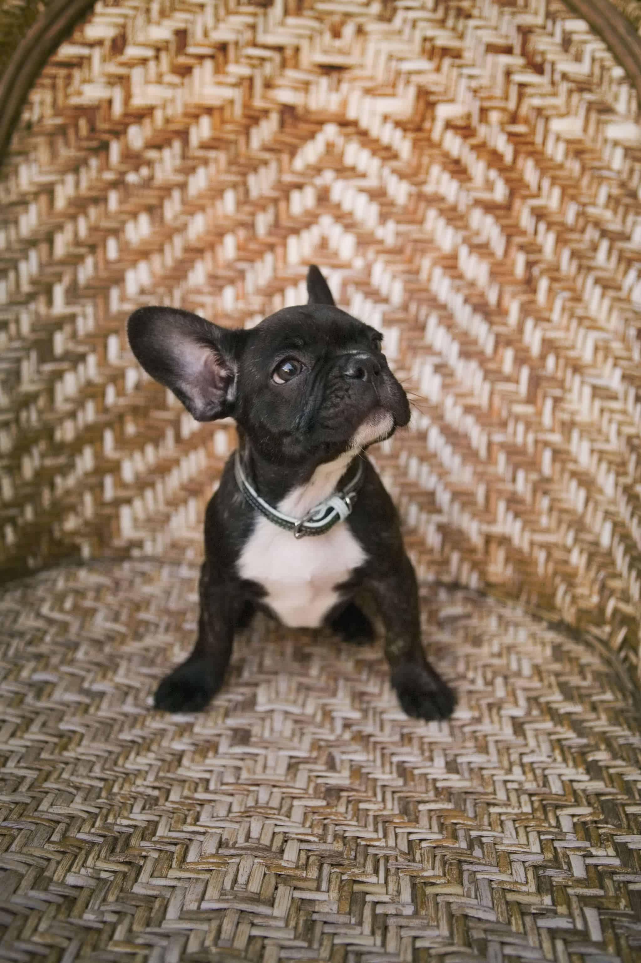 chien qui boite que faire pourquoi chiens autour des animaux. Black Bedroom Furniture Sets. Home Design Ideas