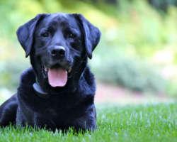 Coup de chaud chez le chien, langue pendante, gueule ouverte : que faire ?