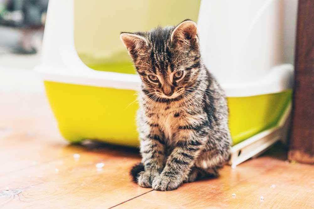 Chat qui se trouve devant son bac à litière