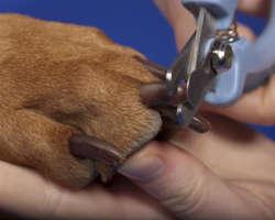 Comment bien couper les griffes de son chien