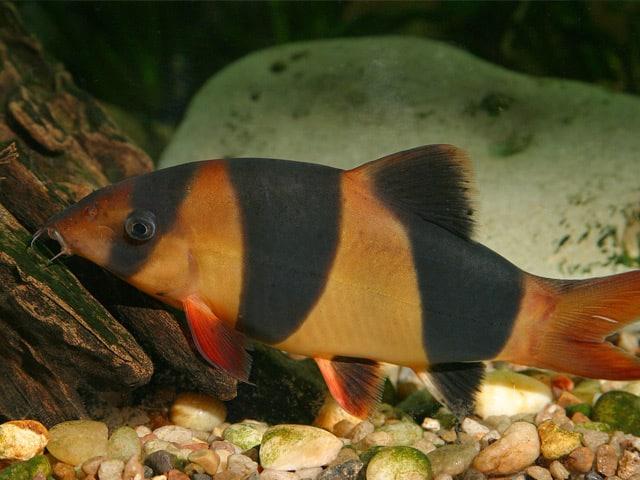 Poissons nettoyeurs les diff rentes esp ces leur utilit for Poisson aquarium eau chaude