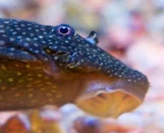 Poissons nettoyeurs et leur utilité dans l'aquarium
