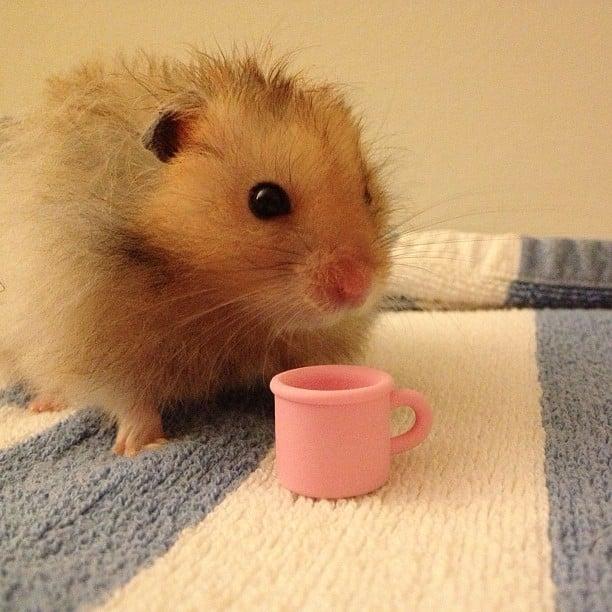 mocha_le_hamster_boit_du_thé