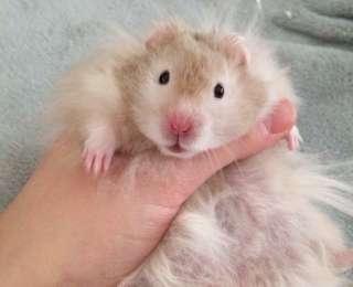 Mocha, le hamster qui fait fureur sur Instagram