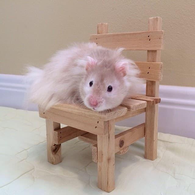 mocha_le_hamster_chaise