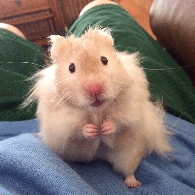mocha_le_hamster_hello