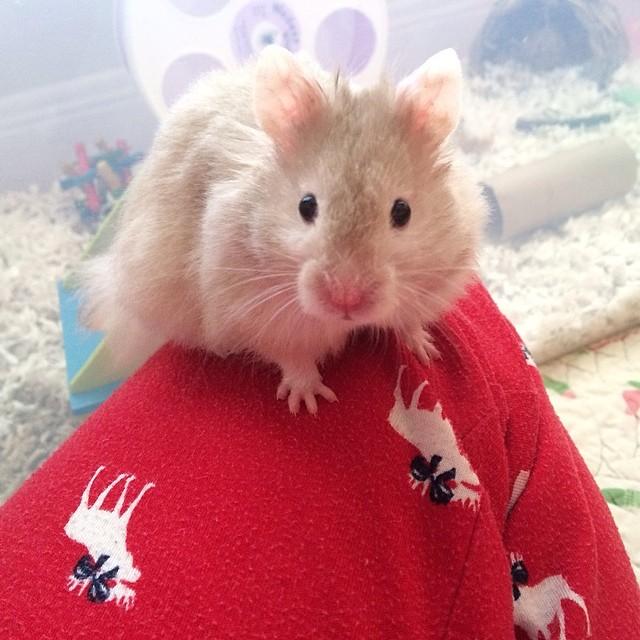 mocha_le_hamster_hello2