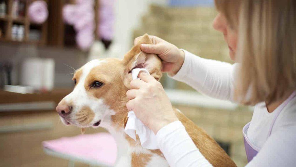 nettoie les oreilles d'un chien