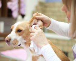 Comment nettoyer les oreilles de mon chien