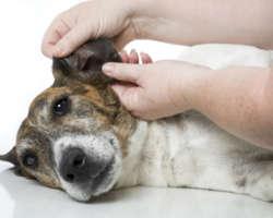 Détecter un problème à l'oreille de mon chien