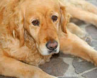 Adopter un chien âgé