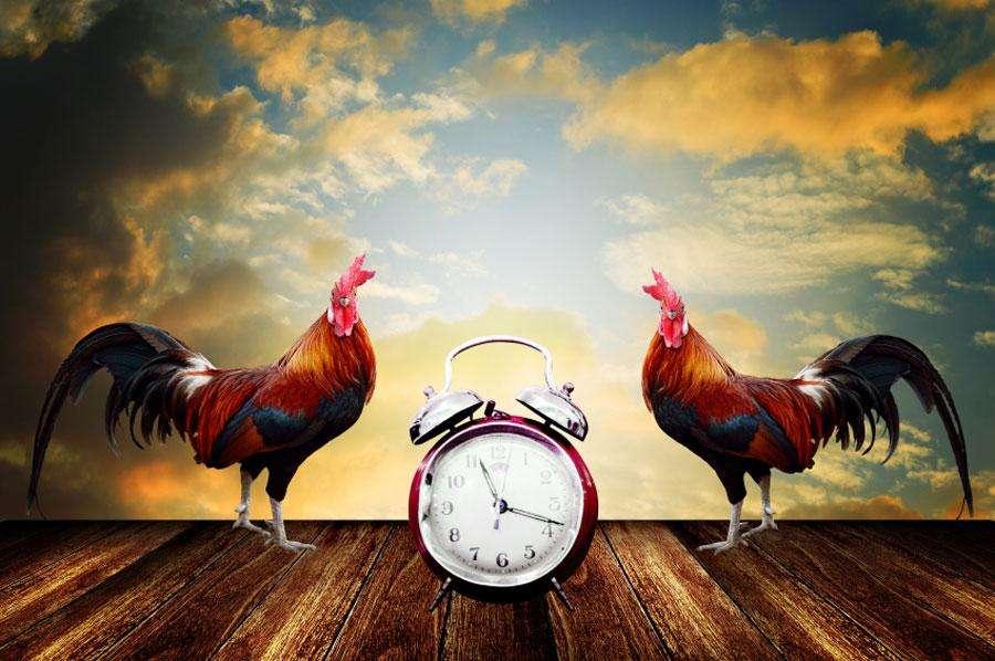 Pourquoi le coq chante-t-il tôt le matin ?