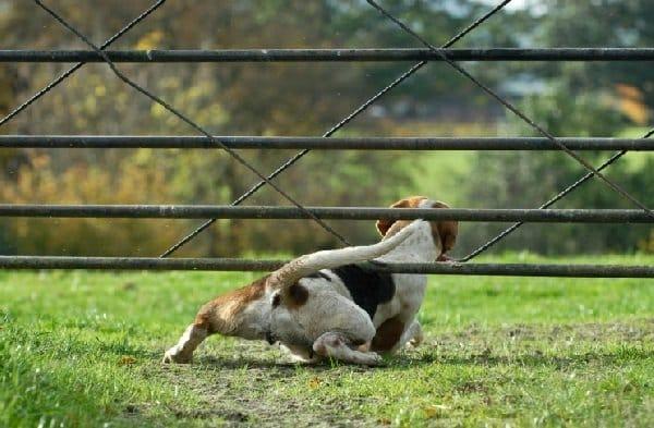 chien qui passe sous le portail et fugue