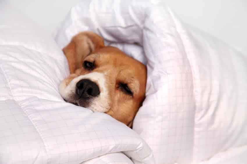 Pourquoi mon chien dort sous les couvertures & couettes