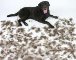Mon chien perd ses poils : que faire ?