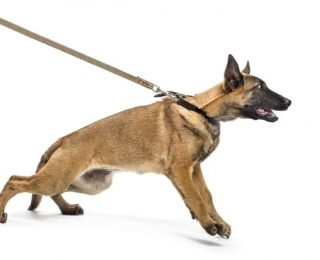 Apprendre la marche en laisse à son chien