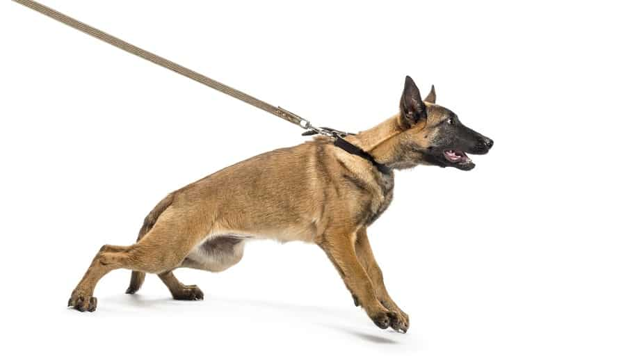 Mon chien tire sur la laisse : que faire ?