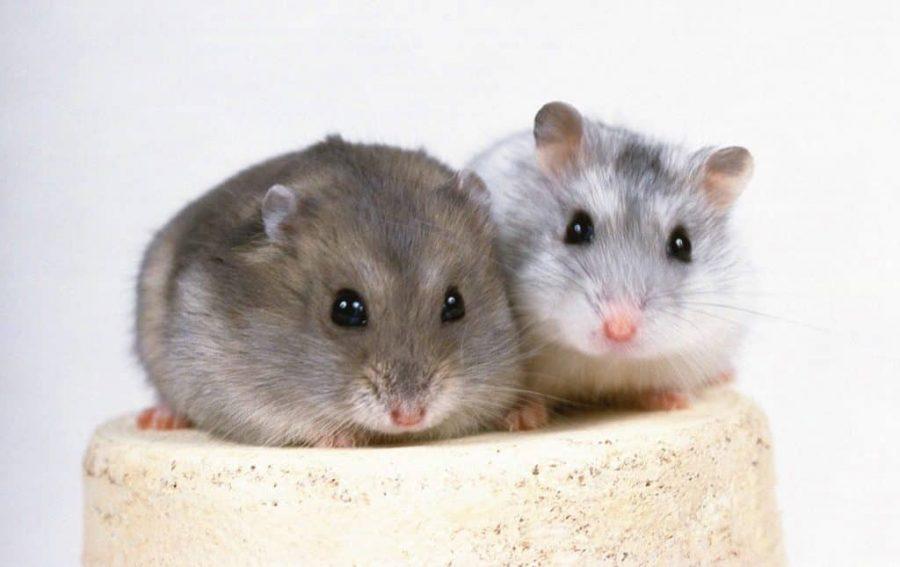 Hamster : présentation, cycle sexuel et anatomie du hamster