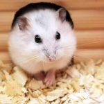 Le hamster : une santé fragile