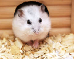 Le hamster : prendre soin de sa santé plutôt fragile
