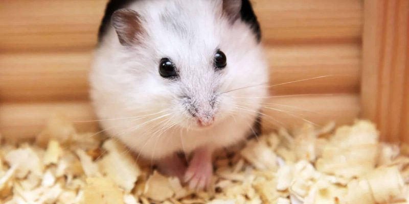 La santé du hamster