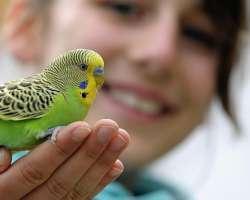 Ton premier oiseau : quelle espèce choisir ? Zoom sur la perruche !