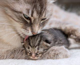 Comment préparer la naissance des chatons ?