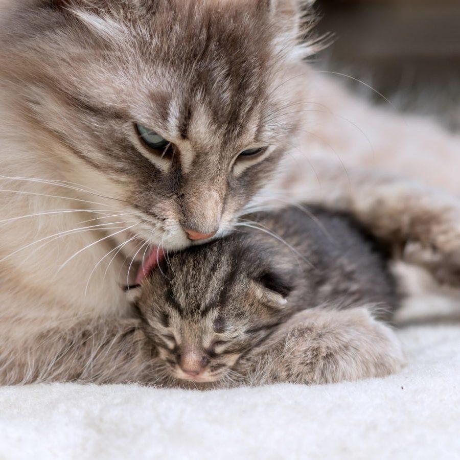 Ma chatte attend des petits : préparer l'arrivée des chatons