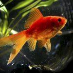 Débuter avec son premier poisson rouge