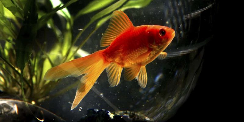Le poisson rouge : présentation et informations