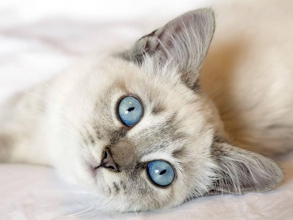 Pourquoi mon chat ronronne-t-il ? Chat