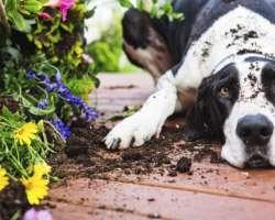Quand mon chien rencontre de mauvaises plantes au jardin