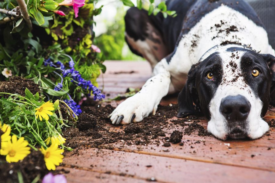 Les plantes dangereuses pour chien