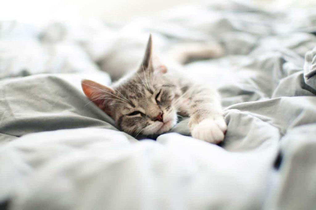 Pourquoi Les Chats Dorment Ils Autant Autour Des Animaux