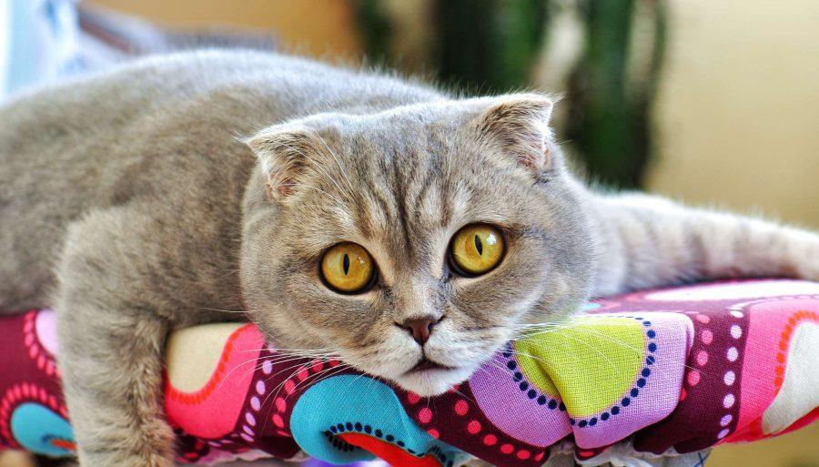 allergie aux poils de chats que faire comment y rem dier. Black Bedroom Furniture Sets. Home Design Ideas