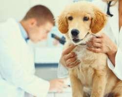 La Leptospirose chez le chien : définition, symptômes, traitement