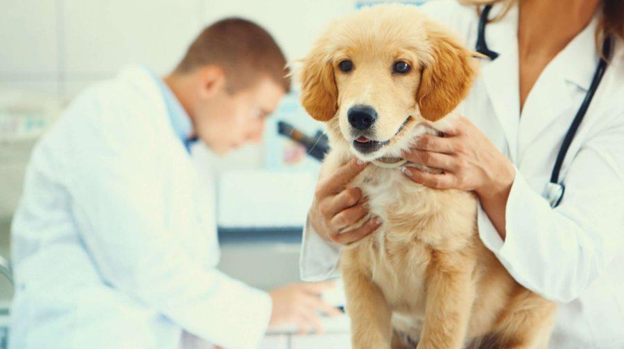 Leptospirose chez le chien : symptômes, traitement