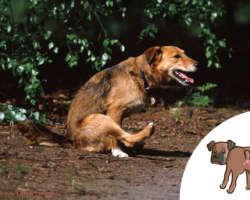 Ton chien fait le train-train ? C'est son derrière qui le démange !