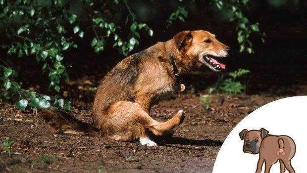 Mon chien traine son derrière : conseils & infos