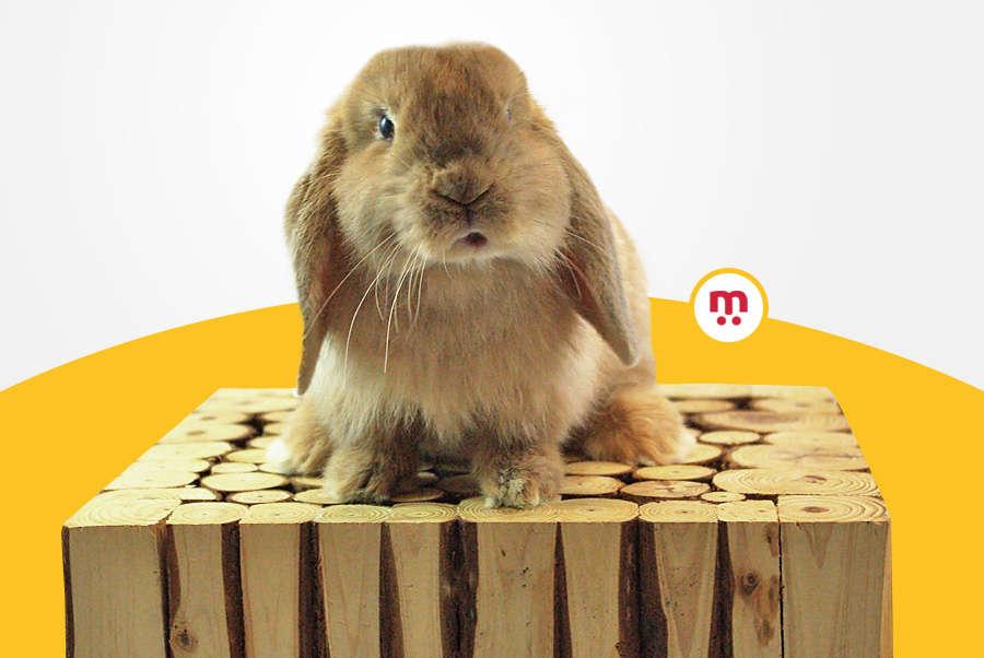 Lexique du lapin nain : les termes et définitions à connaître