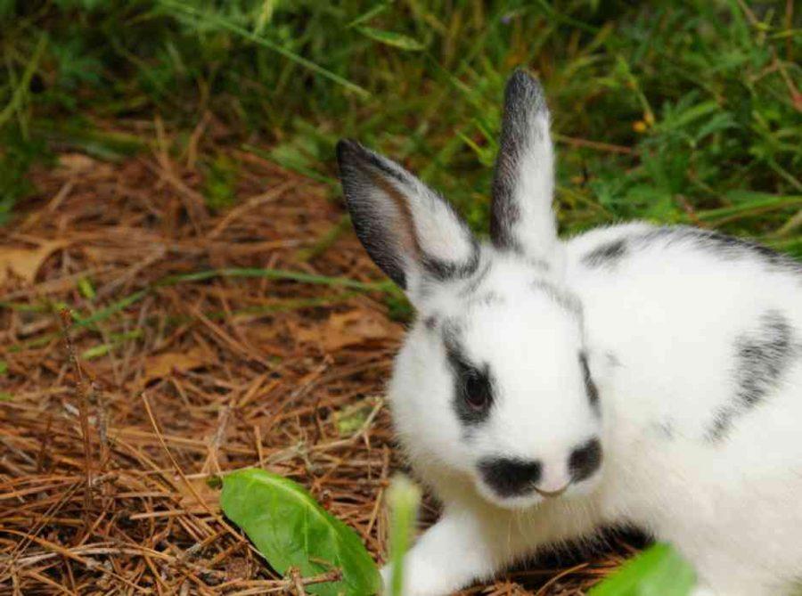 Le lapin nain tacheté