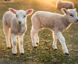 Je veux un mouton ! Tout savoir avant de te lancer