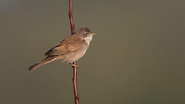 oiseau fauvette