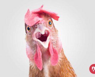 L'intelligence de la poule ! Non une poule n'est pas stupide !