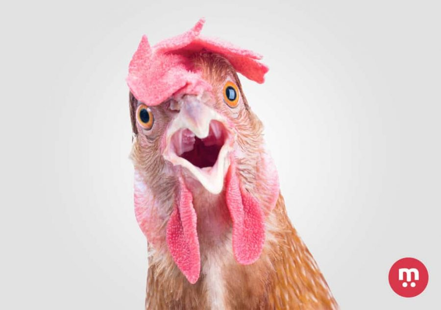 L 39 intelligence de la poule non une poule n 39 est pas con for Qu est ce que mange une poule