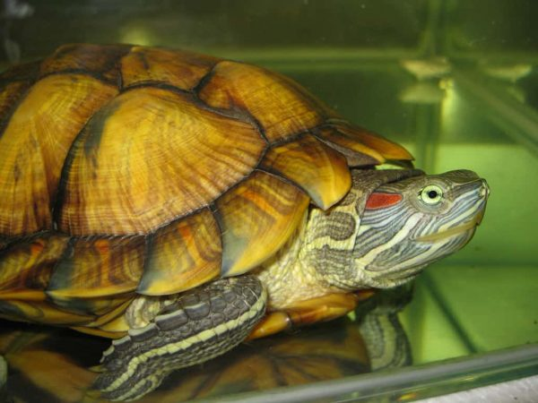 Je pars en vacances, que faire de ma tortue ?