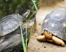 Une tortue terrestre ou aquatique ? Quelle espèce choisir ?